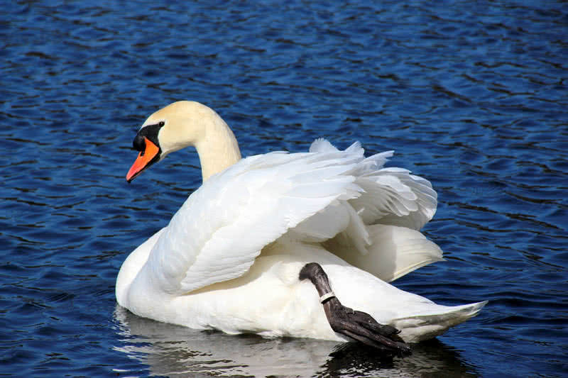 Mute swan is a large water bird that grows up to a size of 5 feet and  weighs between 12 and 13 kg. They are native to European countries.