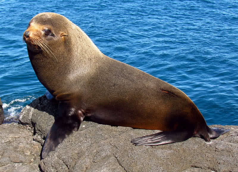 Galapagos fur seal