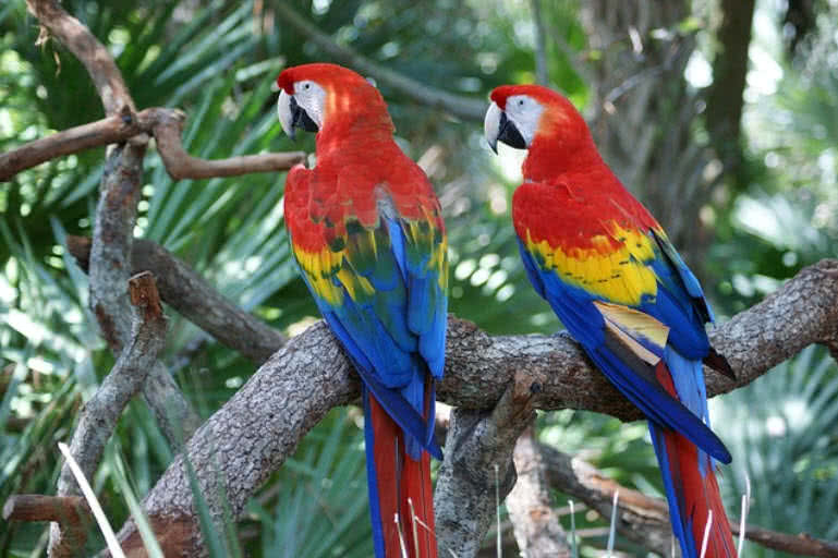 birds species scarlet macaw