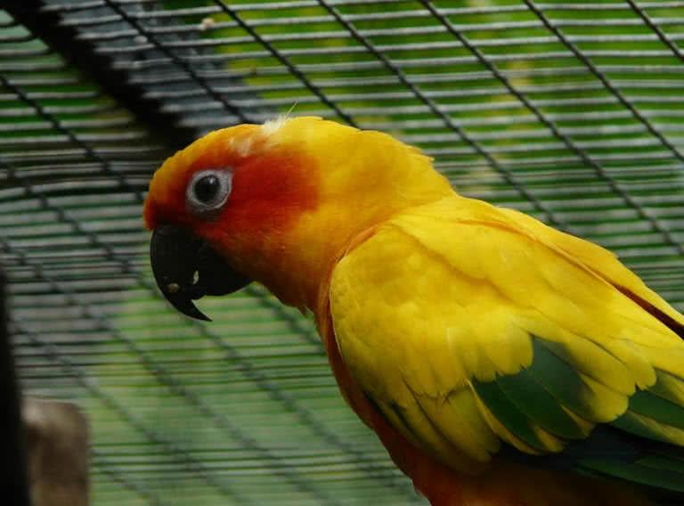 Sun Parakeet parrot