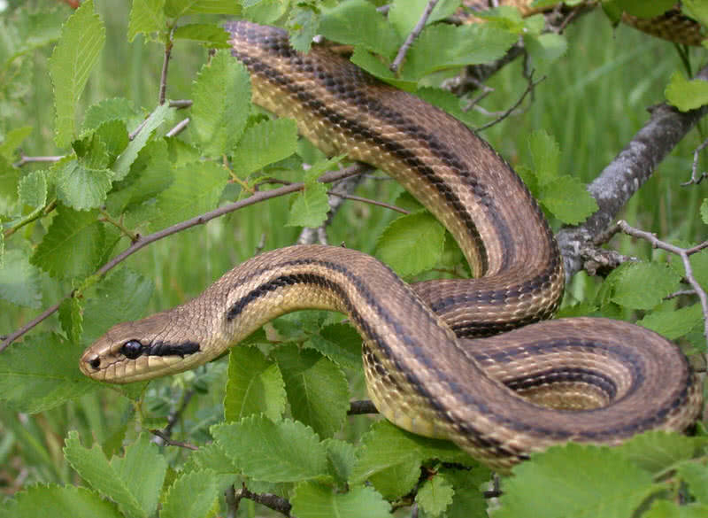 four lined snake