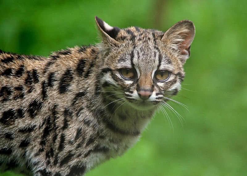 گربه وحشی Margay